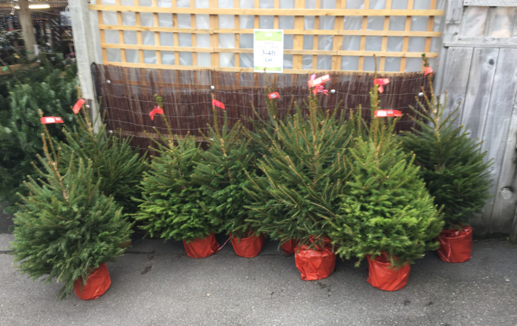 Norway spruce CO red label 100-125cm