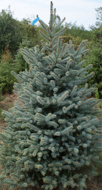 Blue spruce blue label 150-200cm