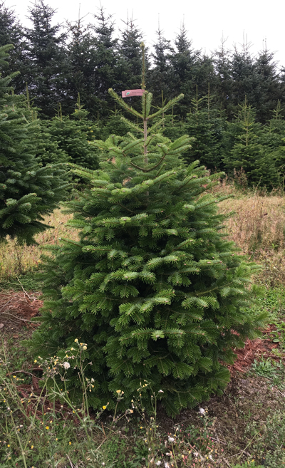 Nordmann fir brown label 175-200cm