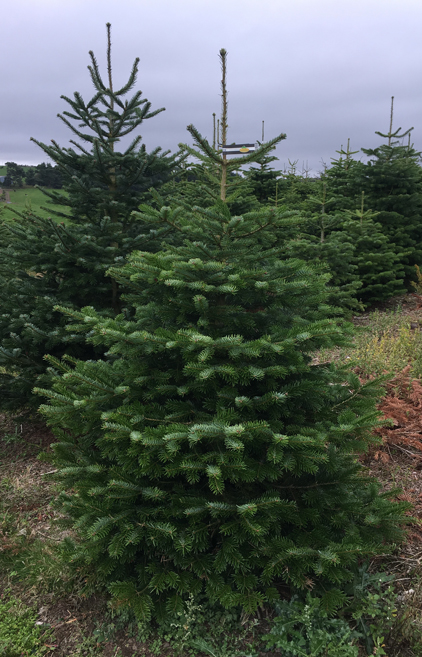 Nordmann fir black-white label 165-200cm