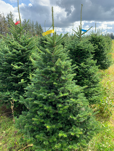 Fraser fir yellow label 150-175cm