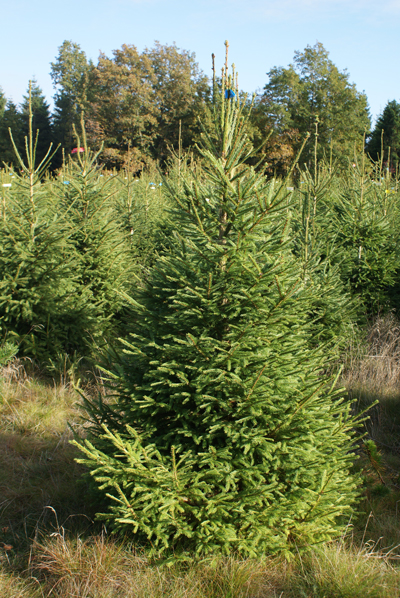 Norway spruce blue label 175-200cm