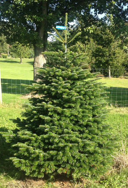 Nordmann fir blue-white label 175-200cm