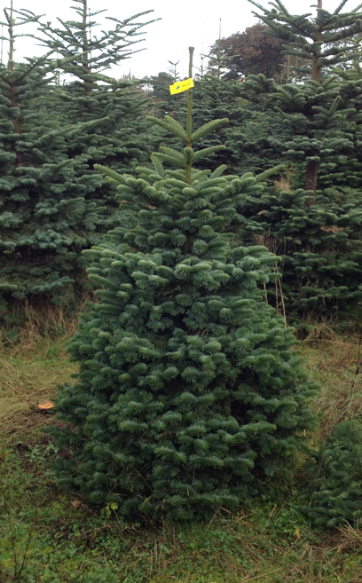 Noble fir yellow label 150-175 cm